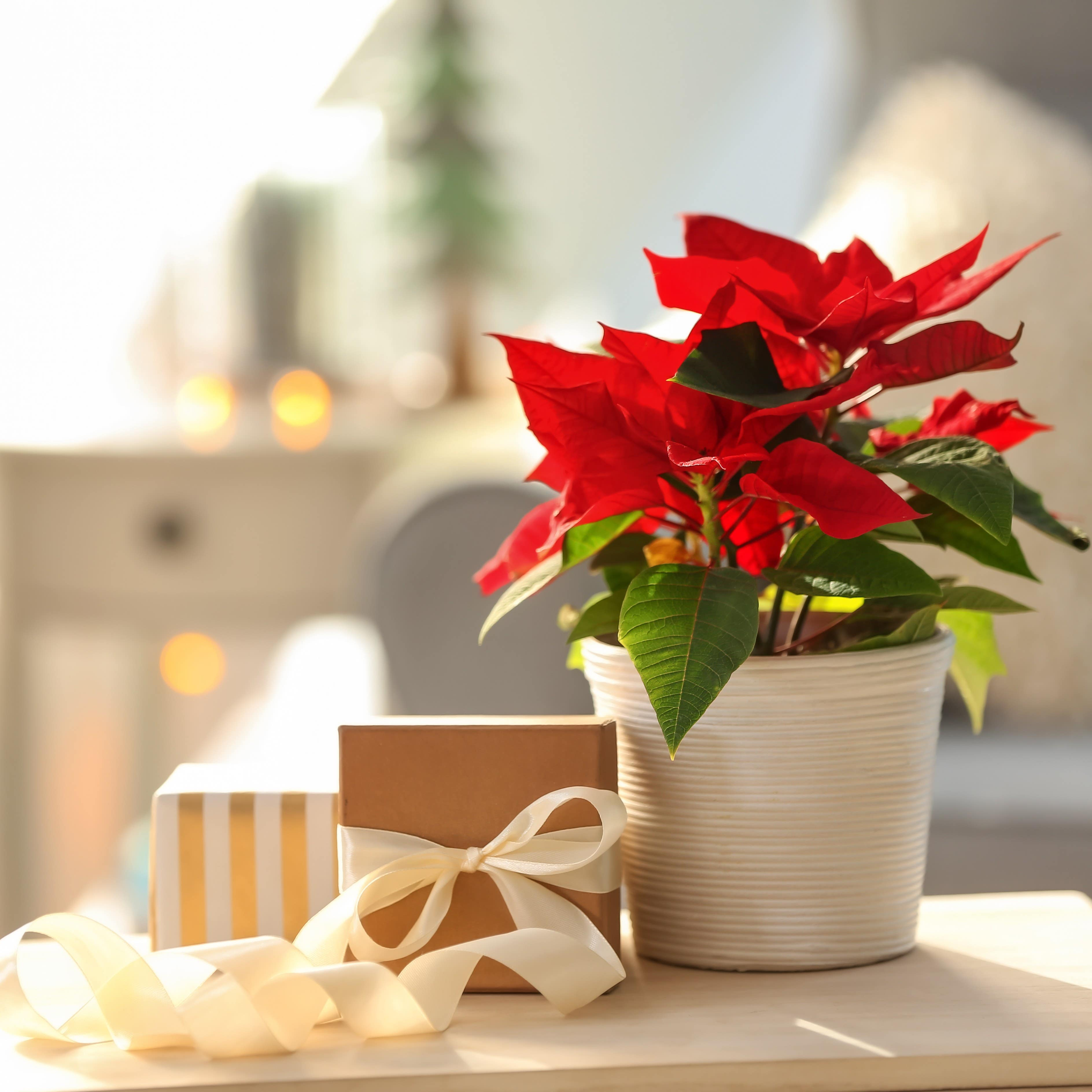 Plante Crăciun