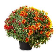 Crizantema 3 culori 19-21 cm