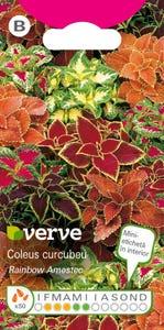 Amestec semințe de coleus (urzicuță decorativă)