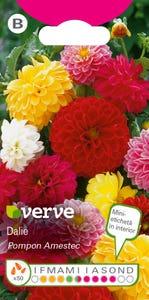 Amestec seminţe de dalie, în culori vii