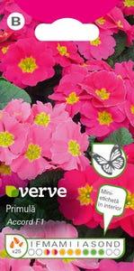 Ameste semințe de primulă Viva Pink