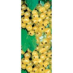 Arbust fructifer Agris
